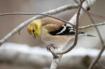 Yellow Finch in W...