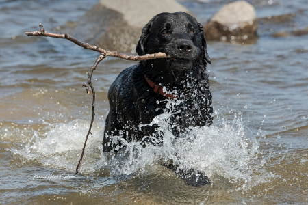 Ammo - Loves Water and Sticks!