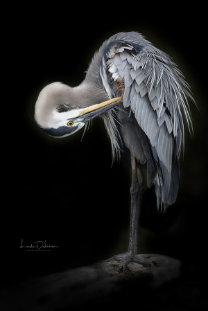 The Amazing Great Blue Heron