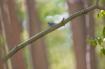 Bluebird Eating a...