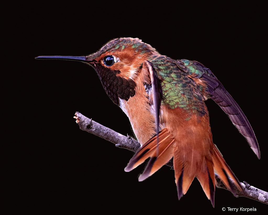 Allen's Hummingbird - ID: 15918452 © Terry Korpela