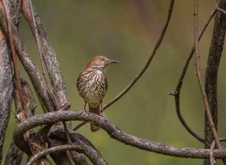 The Brown Thrasher Looking East