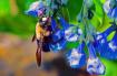 Pollinating Virgi...
