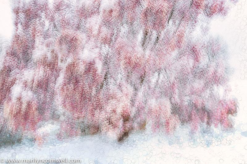 Snow Flowers - ID: 15919021 © Marilyn Cornwell
