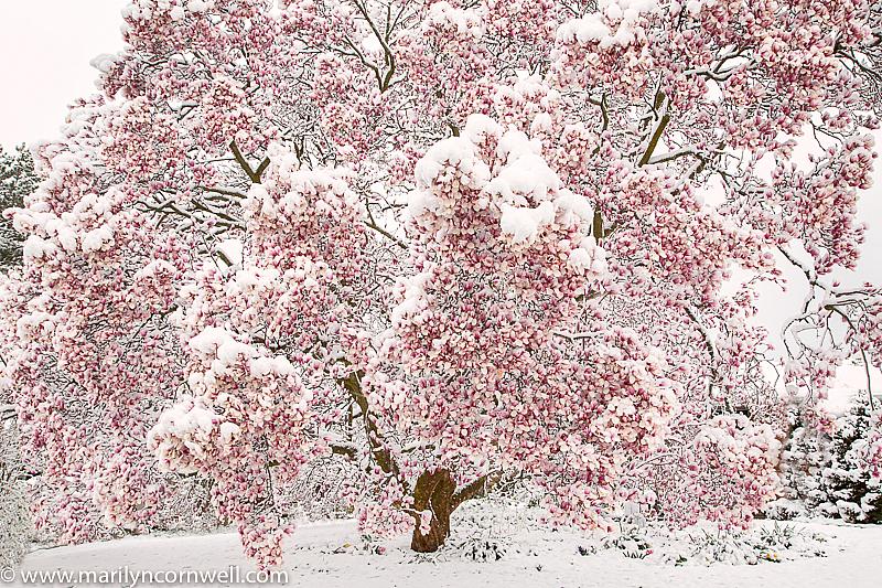 Snow Showers - ID: 15919023 © Marilyn Cornwell