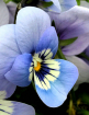 ~ ~ BLUE PANSY ~ ...