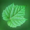 Leaf Specimen