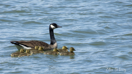 Mother Goose and Her Seven Goslings