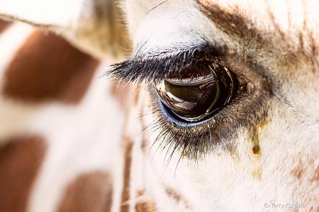 Eye of the Giraffe