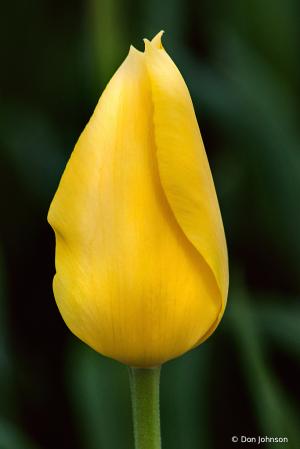 A Single Tulip 4-16-21 150