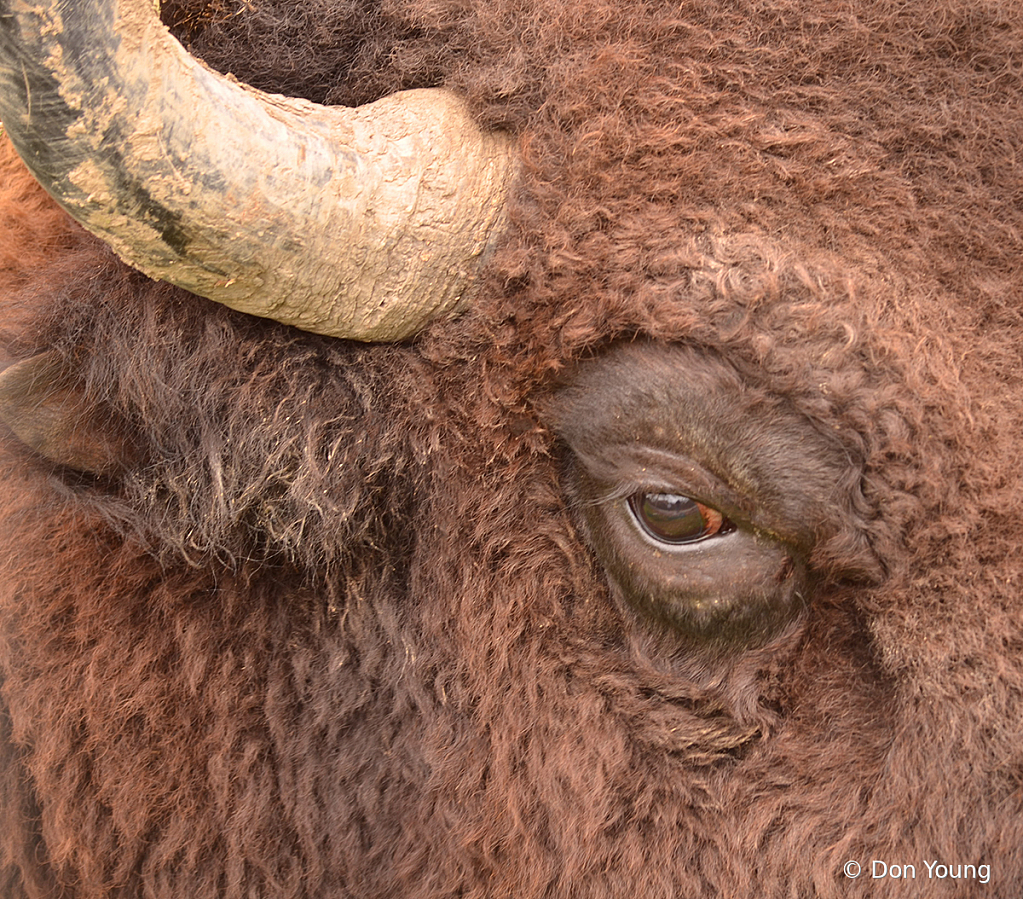 Eye Of The Bison - ID: 15922454 © Don Young