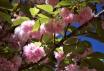 Cherry Blossom Ti...
