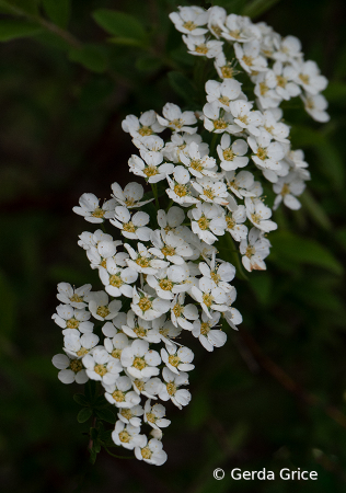Sweet May Blossoms