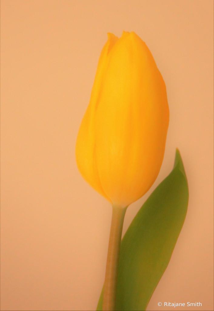 Soft Tulip - ID: 15923574 © Ritajane Smith