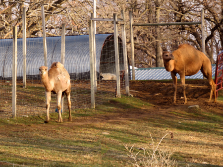 Camels In Iowa?