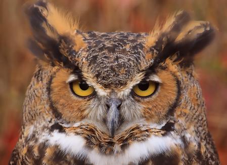 Great Horn Owl Eyes
