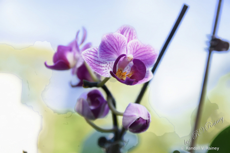 Purple Orchid in bloom