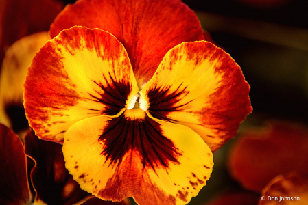 Many Colored Pansy 4-16-21 115