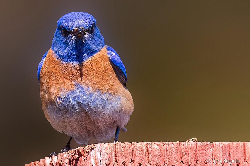 Western Blue Bird - ID: 15924311 © Terry Korpela