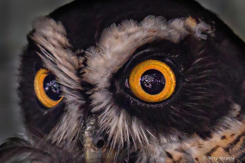 Spectacled Owl - ID: 15924439 © Terry Korpela