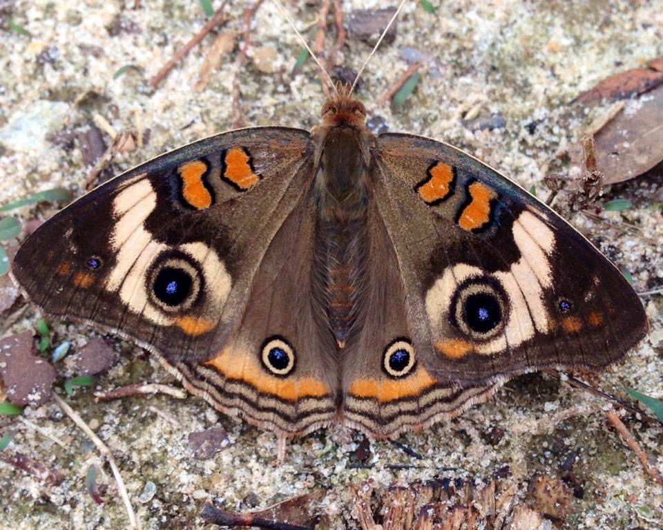 Common buckeye - ID: 15926125 © Elizabeth A. Marker