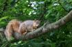 Eastern Fox Squir...