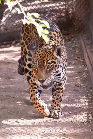 Here Comes The Leopard