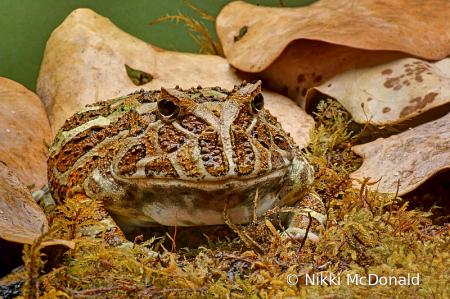 Fantasy Horned Frog