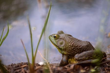 One Really Big Bull Frog