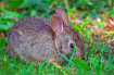 A Baby Cottontail...