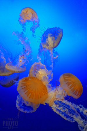 ~ ~ THE DANCES OF THE JELLYFISH ~ ~