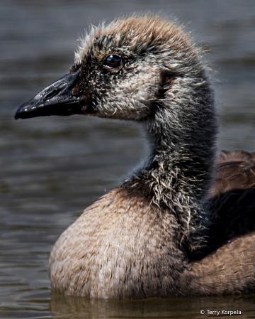 5 Week Old Canada Goose