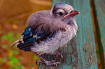 Baby Bluejay on a...