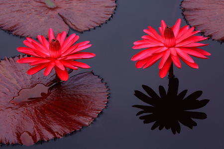 Two Water Lillies and Shadow