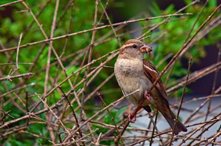 Perched Sparrow