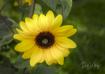 Sunflower and Sun...
