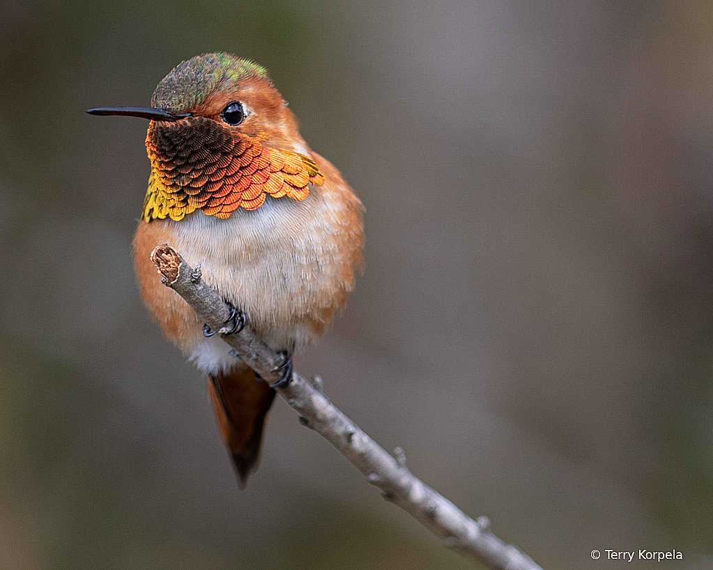 June 2021 Photo Contest Grand Prize Winner - Allen's Hummingbird