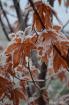 Frostbitten Folia...