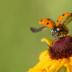 © Kitty R. Kono PhotoID# 15931154: Ladybug Liftoff!!