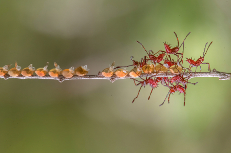 A Whole Bunch of Red Assassin Bugs