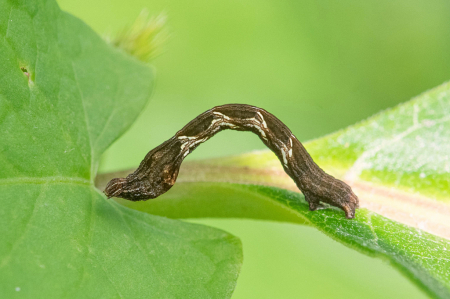 The Inch Worm - Look at that Foot