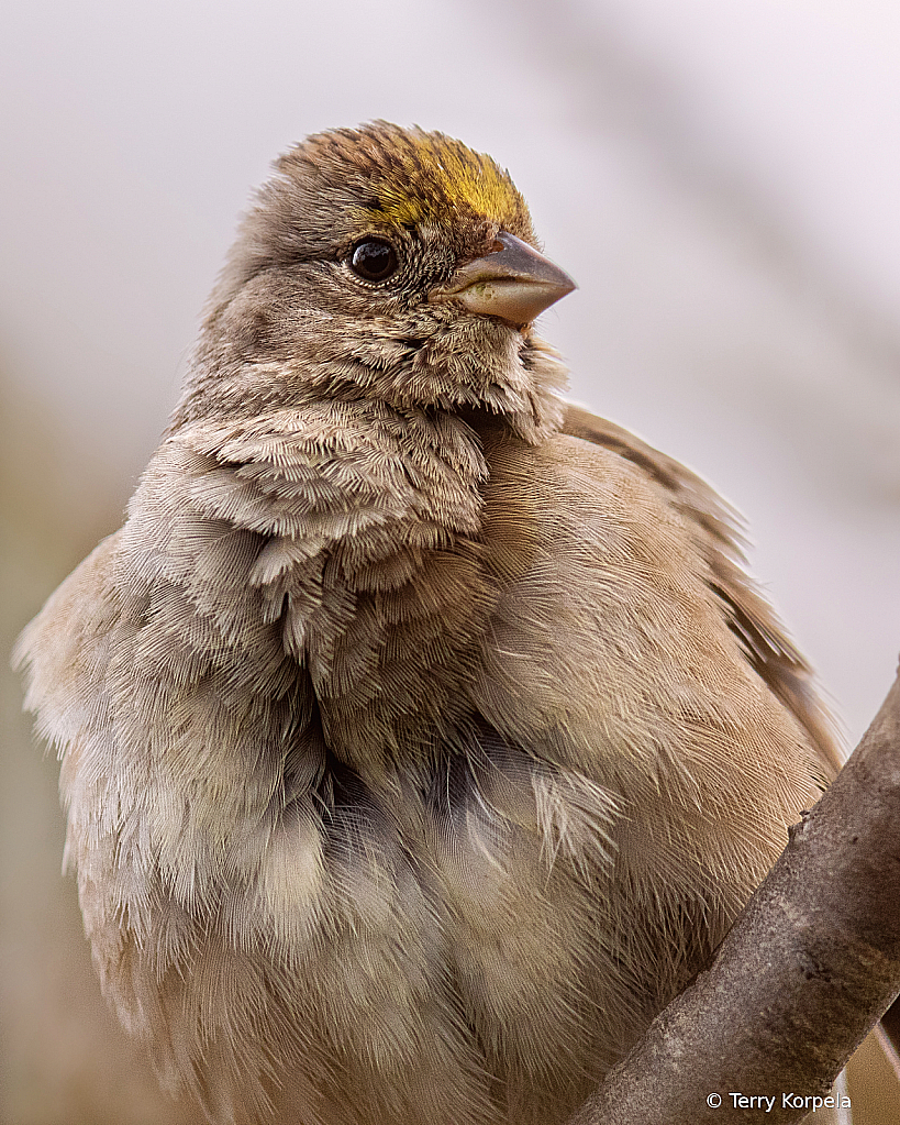 Golden-crown Sparrow (portrait) - ID: 15931842 © Terry Korpela
