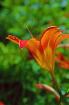 Orange Day Lily B...