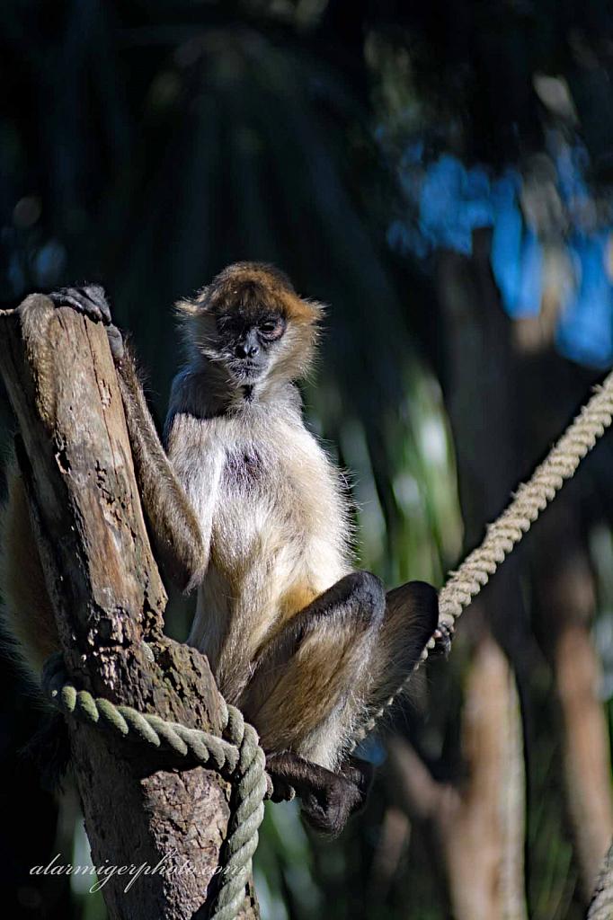 Primates - ID: 15932495 © al armiger