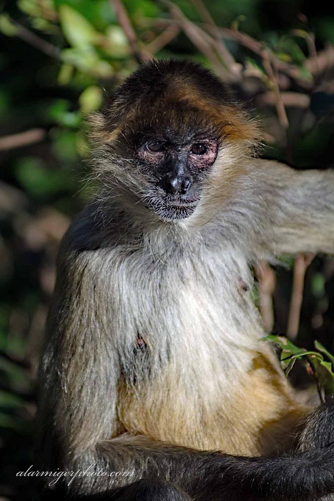 Primates - ID: 15932497 © al armiger