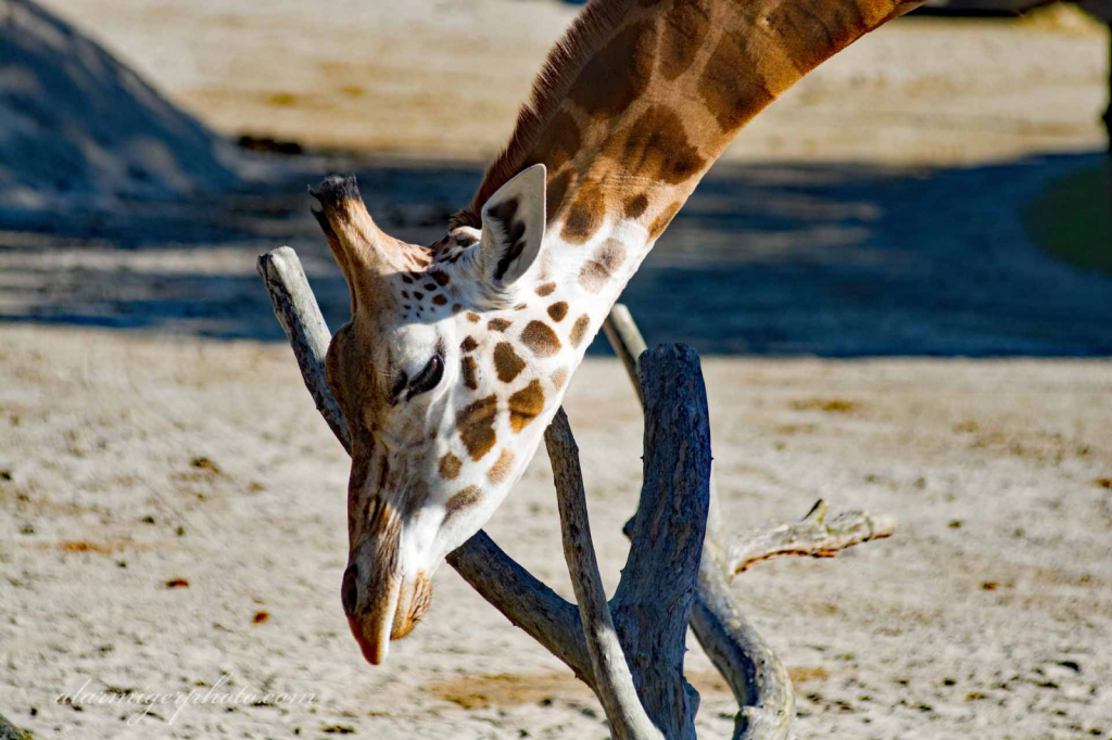 Giraffe - ID: 15932501 © al armiger