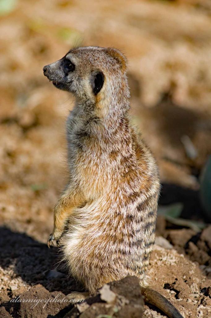 Meerkat - ID: 15932502 © al armiger