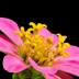 © Janet Criswell PhotoID# 15933367: Zinnia, Focus Stacking