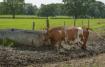 Cow look!