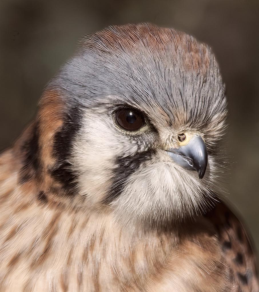 American Kestrel Hawk Portrait  - ID: 15933752 © William S. Briggs